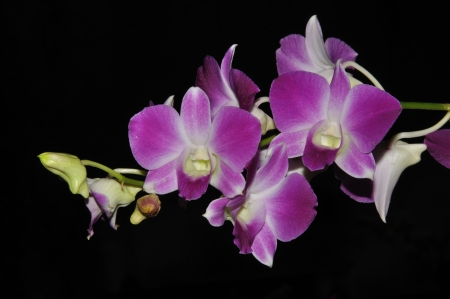 hybridization: white and purple orchids on black background