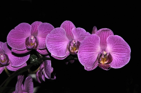 purple striped Phaleonopsis orchids on black background photo