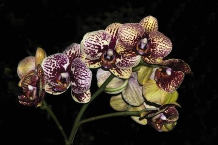hybridization: colourful Phaleonopsis orchids on black background Stock Photo
