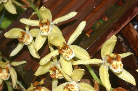 syn: Asian orchid, Coelogyne tomentosa syn  C  Massangeana