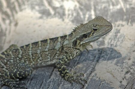 reptillian: portrait of Australian water dragon