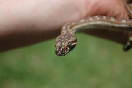 boas: Australian Central Carpet Python, Morelia bredli, on person Stock Photo