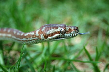 Australian Central Carpet Python, Morelia bredli, in the grass Stock Photo - 17588777