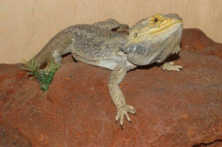 reptillian: Portrait of Australian bearded dragon Stock Photo