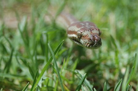 pythons: Australian Central Carpet Python, Morelia bredli, in the grass Stock Photo