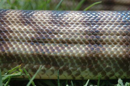 Detail of skin on an Australian black headed python, Aspidites melanocephalus