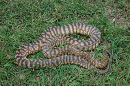 seeks: Australian black headed python, Aspidites melanocephalus, seeks cover in the grass