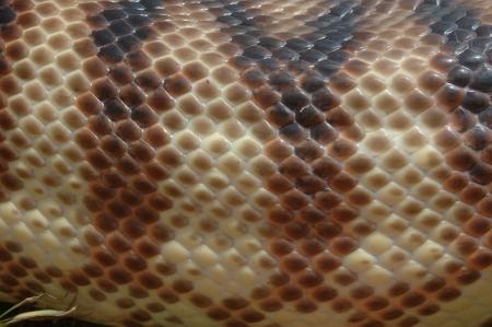constrictors: Detail of skin on an Australian black headed python, Aspidites melanocephalus