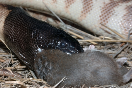 swallowing: Australian black headed python, Aspidites melanocephalus, swallowing a black rat, Rattus rattus