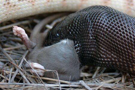pythons: Australian black headed python, Aspidites melanocephalus, swallowing a black rat, Rattus rattus