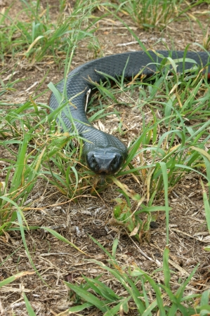 reptillian: Australian red bellied black snake, Pseudichis porphyriacus, in sparse grass cover on ground