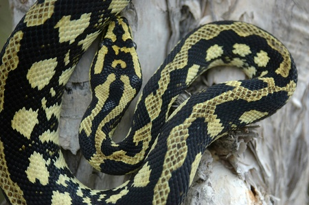 pythons: Brightly coloured Jungle Python, Morelia spilota cheynei