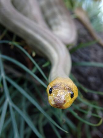 constrictors: Portrait of South Australian woma python, Aspidites ramsayi, on a tree