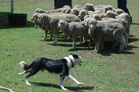 mobs: Huntaway sheep dog rounds up a mob of sheep