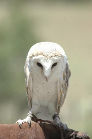 handlers: Australian barn owl, Tyto alba, on handlers glove