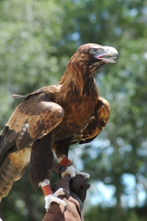wedgetailed: Trained immature Australian wedge-tailed eagle, Aquila audax, on handler