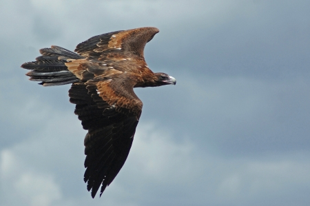 qld: Immature Australian wedge-tailed eagle, Aquila audax, in flight
