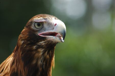 immature: Portrait of immature Australian wedge-tailed eagle, Aquila audax