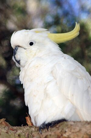 Australian sulphur-crested cockatoo, Cacatua galerita photo
