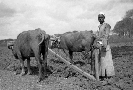 bygone: Circa 1910  Chinese farmer with cattle ploughing field, New Zealand, probably early 1900s