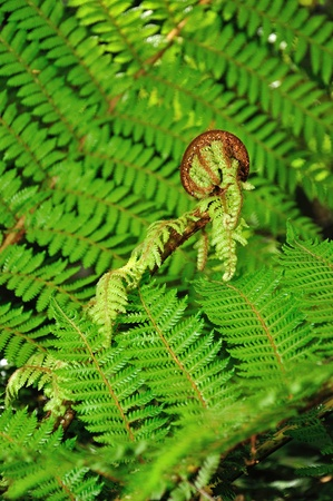 silver fern: An iconic New Zealand koru. Koru is the Maori word for the spiral shape of a new unfurling silver fern frond, symbolizing new life, growth, strength and peace.