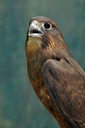 Immature female New Zealand Falcon, Falco novaeseelandiae, photo