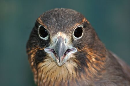 immature: Immature female New Zealand Falcon, Falco novaeseelandiae,