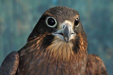 Immature female New Zealand Falcon, Falco novaeseelandiae,