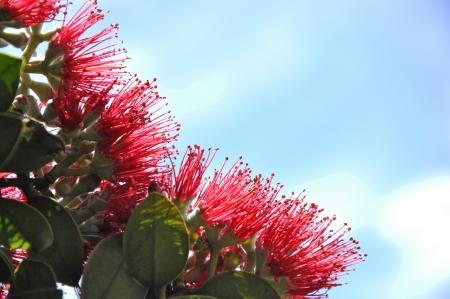 bloemen op een pohutukawa boom Metrosideros excelsa, bloeiend op de West Coast, Nieuw-Zeeland Stockfoto