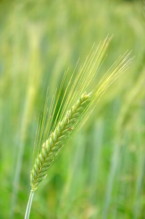dairying: head of triticale grain grown for silage, Westland, New Zealand Stock Photo