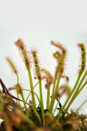 Sticky leaves on a sundew plant - carnivorous plant that traps insects and digests them Stock Photo - 18803878