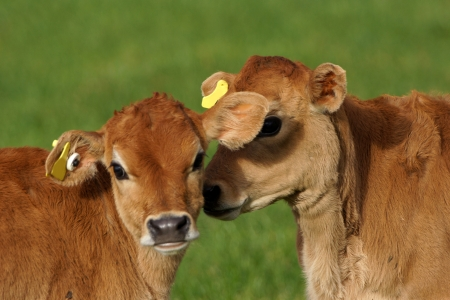 landuse: Cute Jersey calves, Westland, New Zealand