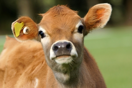 calves: Cute Jersey calf, Westland, New Zealand Stock Photo