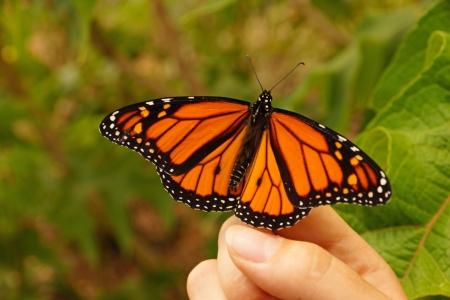 monarch butterfly, Danaus plexippus, resting on a girls finger at Tauranga