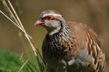 Red- legged partridge or Chukor, Alectoris chukor, on the llokout for danger, New Zealand
