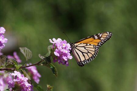 danaus: monarch butterfly, Danaus plexippus, resting on a flower at Tauranga