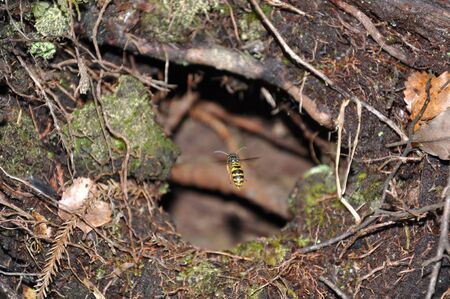 introduced: German wasp entering its nest on the West Coast, New Zealand. The introduced German wasps are becoming a major pest in the native forests of New Zealand. Stock Photo