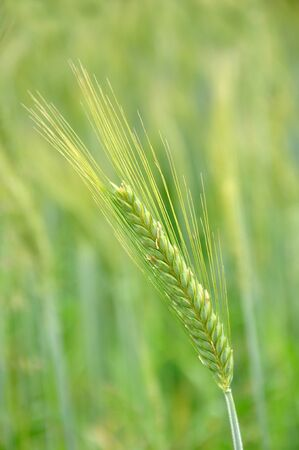 cropping: head of triticale grain grown for silage, Westland, New Zealand Stock Photo