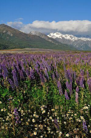 brighten: Colourful lupins brighten the Waimakiri Valley in Summer, South Island, New Zealand.
