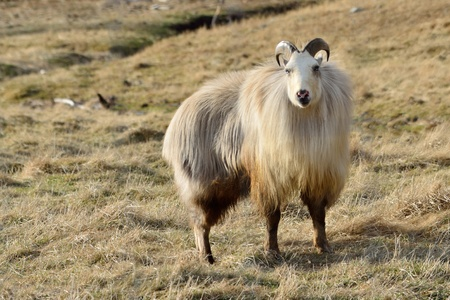 rare white Himalayan tahr bull, Hemitragus jemlahicus, in the Southern Alps of New Zealand Stock Photo