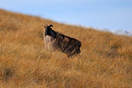 Bull Himalayan tahr, Hemitragus jemlahicus, in the high country photo