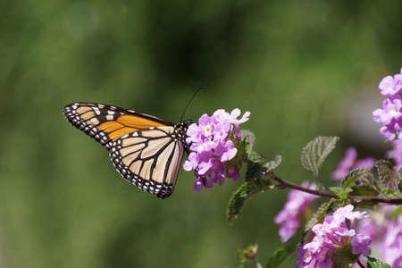 plexippus: monarch butterfly, Danaus plexippus, resting on a flower at Tauranga