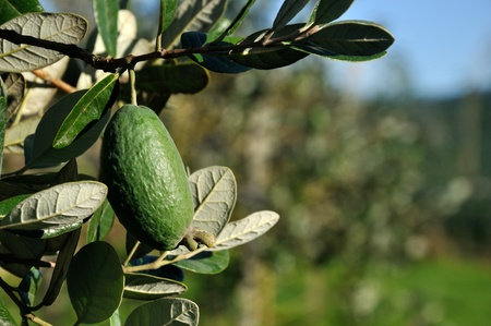 westland: Fresh feijoa, Acca sellowiana, almost ready to harvest in a home orchard in Westland, New Zealand