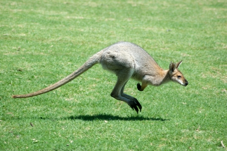 Red-necked wallaby, Macropus rufogriseus, also known as the Brush wallaby, Brush kangaroo, Brusher, or Red wallaby.  photo