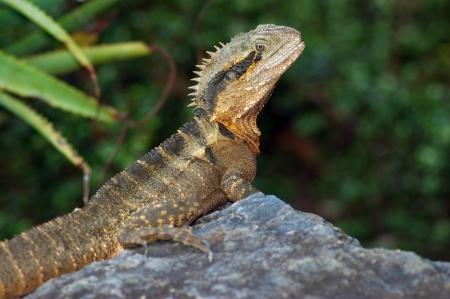 reptillian: Eastern water dragon, Physignathus lesueurii, Brisbane, Australia Stock Photo