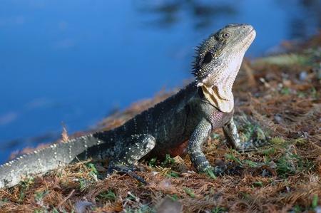 Eastern water dragon, Physignathus lesueurii, Brisbane, Australia Stock Photo