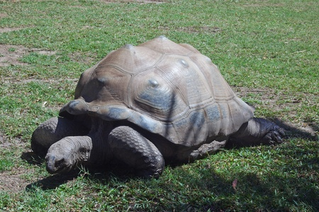 reptillian: Aldraban tortoise, Geochelone gigantea