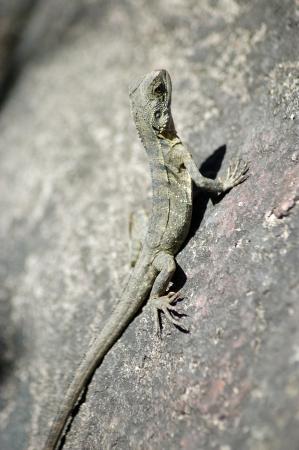 reptillian: young Eastern water dragon, Physignathus lesueurii, Brisbane, Queensland, Australia Stock Photo