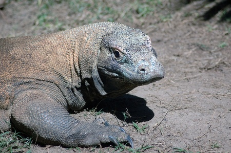 komodo dragon, Varanus komodoensis, from Indonesia. This is the largest land dwelling lizard in the world.