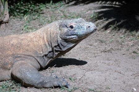 reptillian: komodo dragon, Varanus komodoensis, from Indonesia. This is the largest land dwelling lizard in the world.